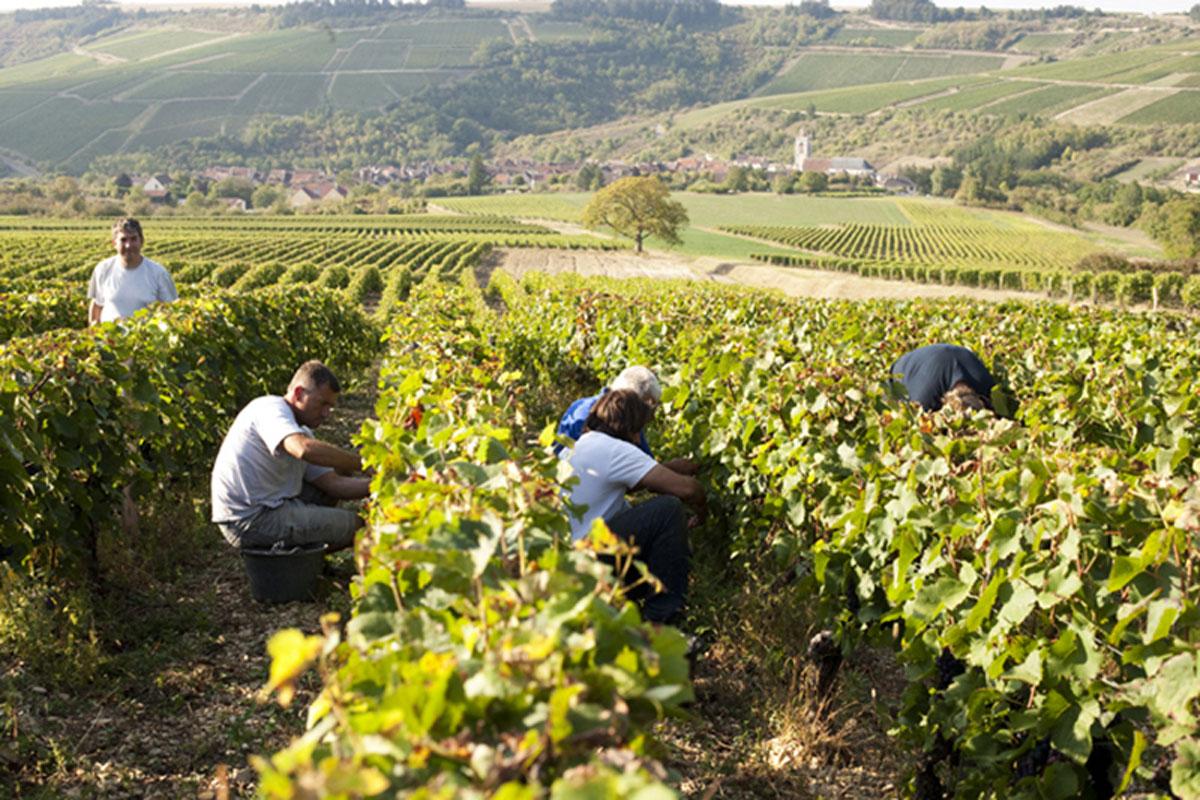 Crémant-du-Bourgogne-wine-tasting-vineyard